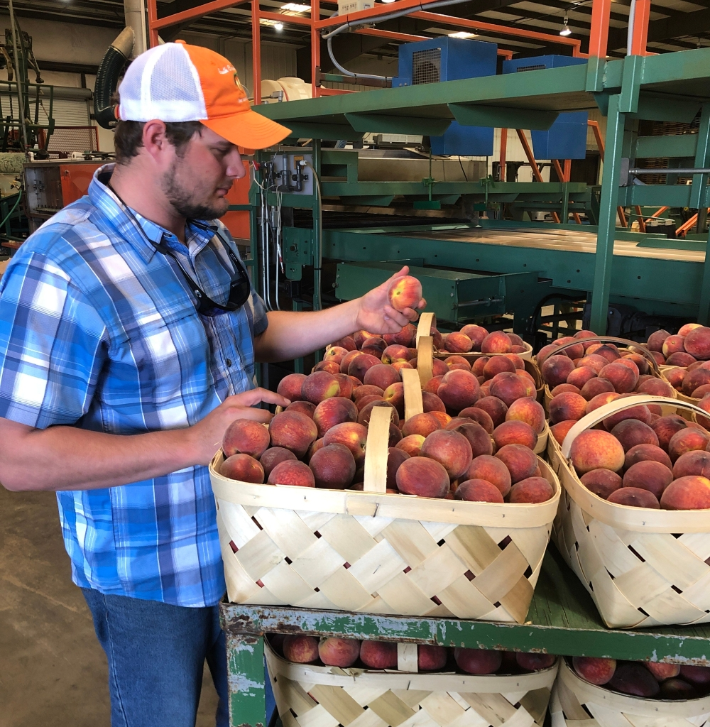 Peaches | The South Carolina Grower