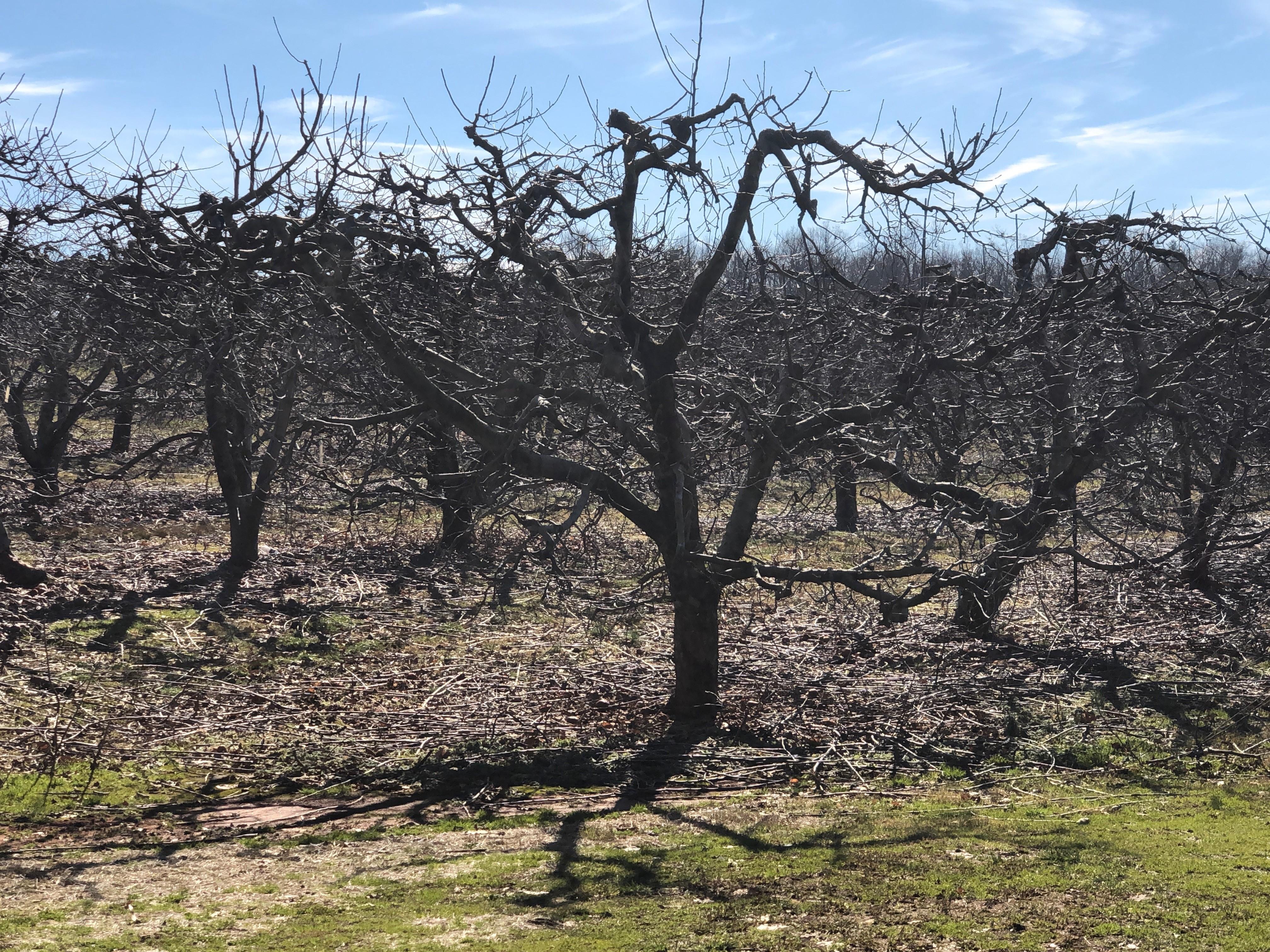 pruned apples.jpg
