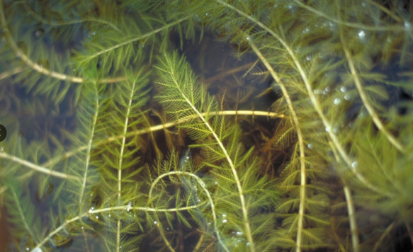 Watermilfoil.png