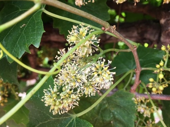 muscadine bloom