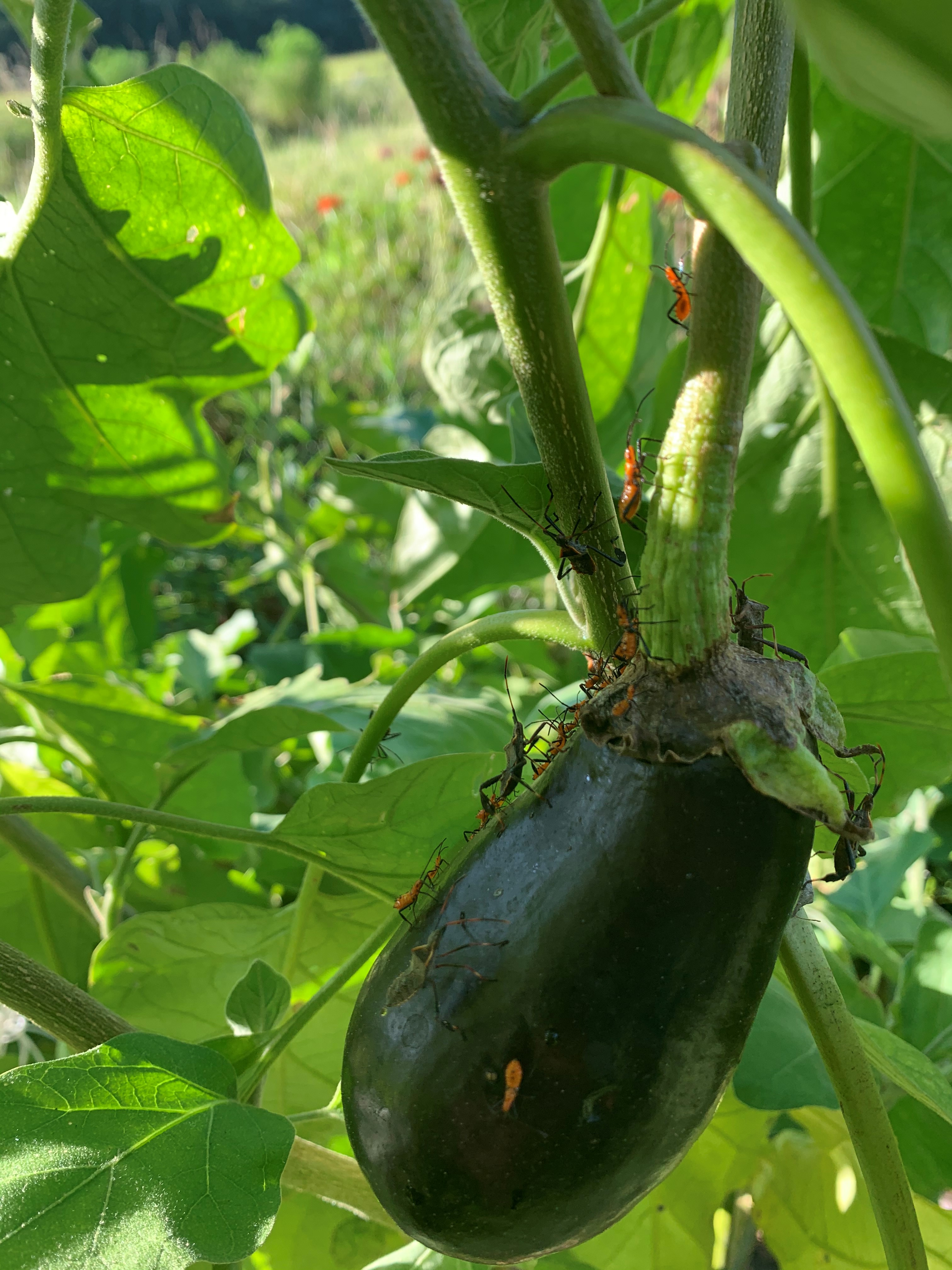 leaffooted bug on eggplant